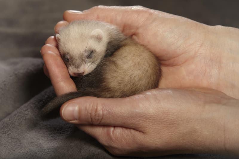Okopour animal - pets - Frettchen